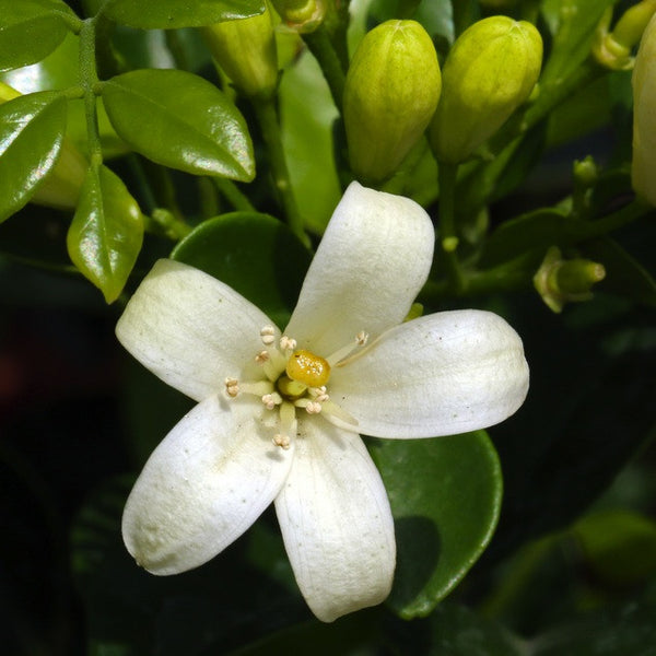 Neroli, 10% Dilution in Organic Jojoba