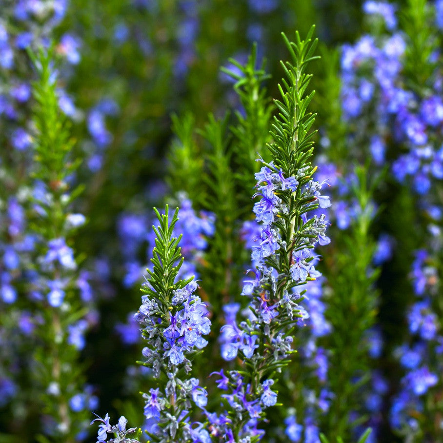 Rosemary, Cineol Type