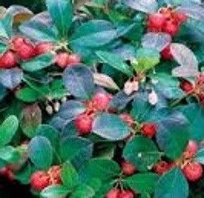 Wintergreen bush with berries