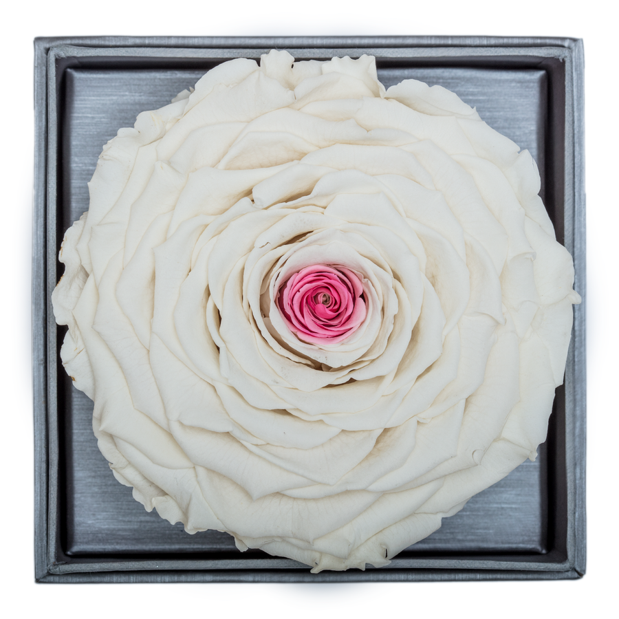 White & Pink Mega Preserved Rose | Crystalline Rose Box - The Only Roses