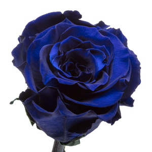 Royal Blue Preserved Rose | Beauty and The Beast Glass Dome - The Only Roses