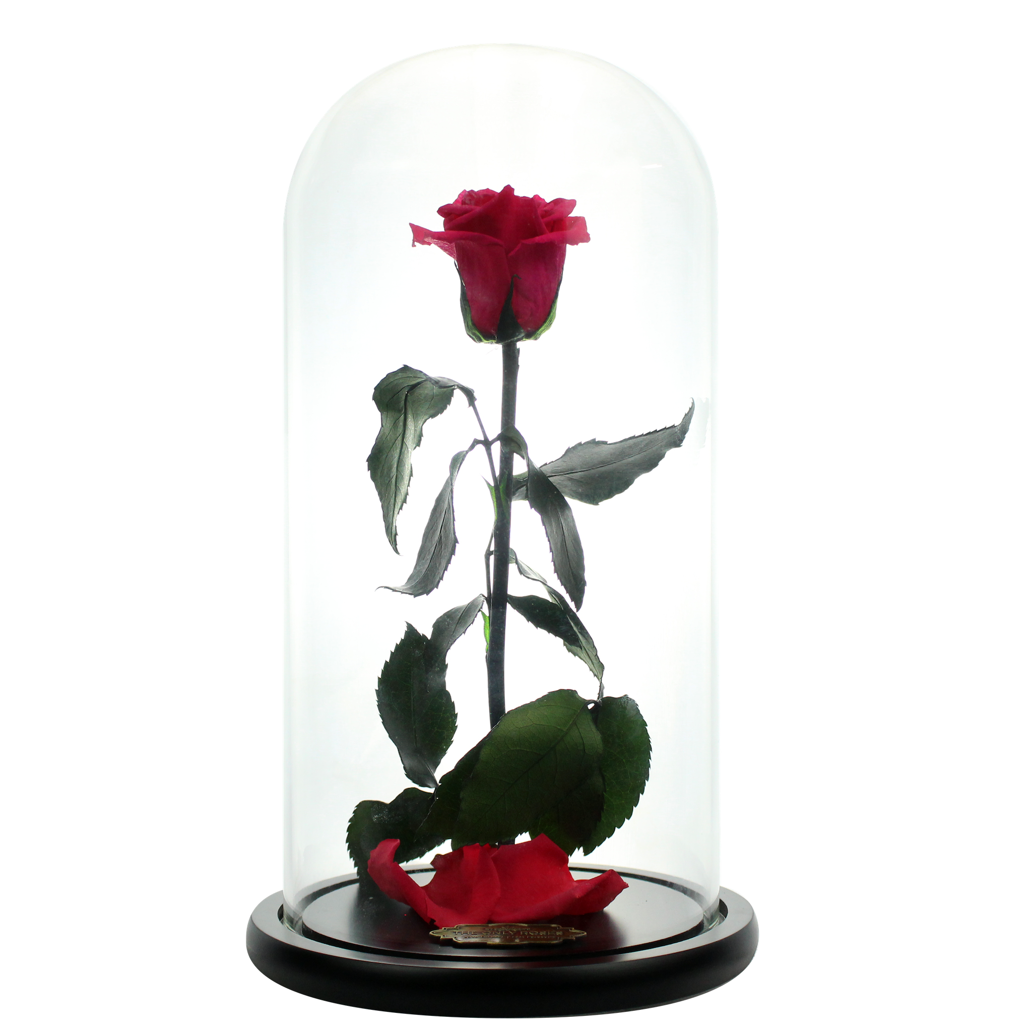 Watermelon Red Preserved Rose Beauty And The Beast Glass Dome