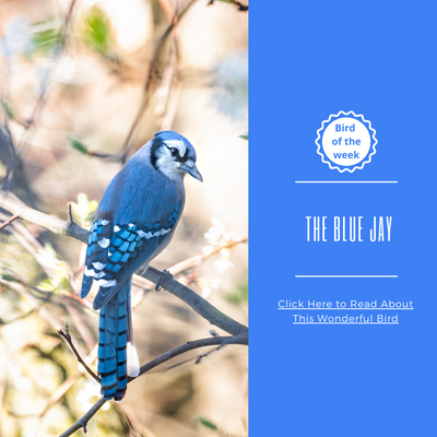 BIRD OF THE WEEK - THE BLUE JAY!