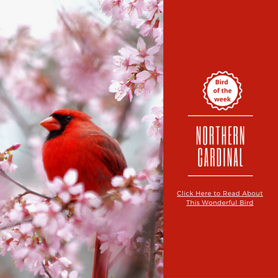 BIRD OF THE WEEK - THE NORTHERN CARDINAL!