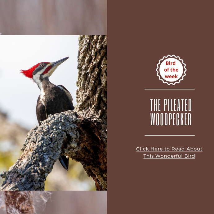 BIRD OF THE WEEK: THE PILEATED WOODPECKER