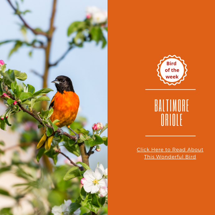 BIRD OF THE WEEK - THE BALTIMORE ORIOLE!