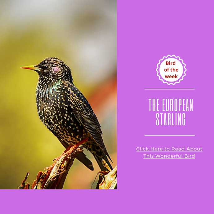 BIRD OF THE WEEK - THE EUROPEAN STARLING