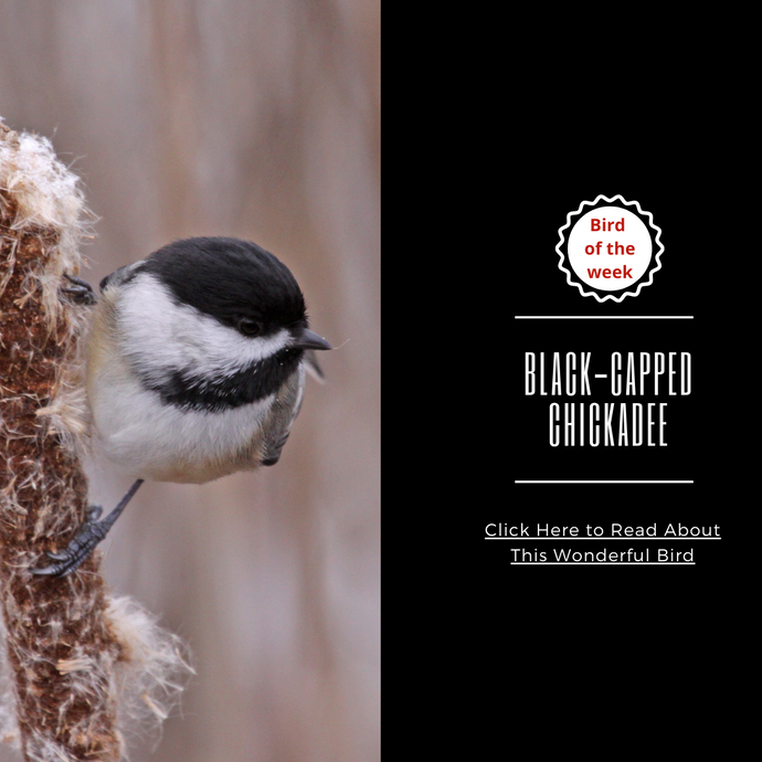 BIRD OF THE WEEK - THE BLACK-CAPPED CHICKADEE!