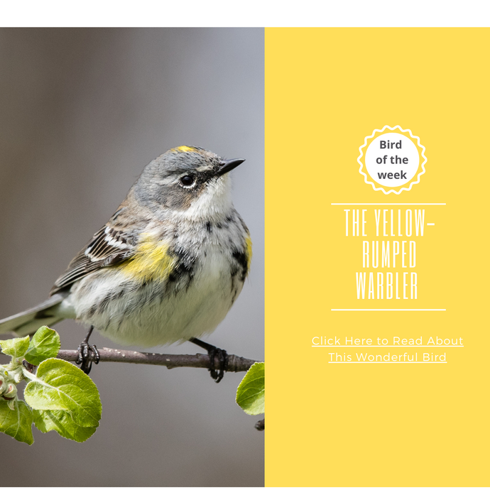 BIRD OF THE WEEK - THE YELLOW-RUMPED WARBLER