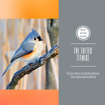 BIRD OF THE WEEK: THE TUFTED TITMICE