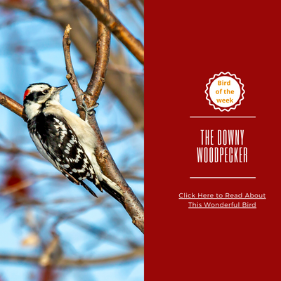 BIRD OF THE WEEK: THE DOWNY WOODPECKER