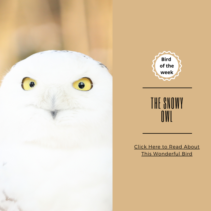 BIRD OF THE WEEK - THE SNOWY OWL