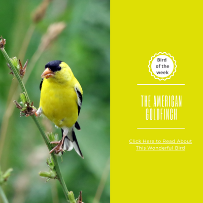 BIRD OF THE WEEK: THE AMERICAN GOLDFINCH