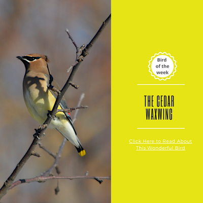 BIRD OF THE WEEK: THE CEDAR WAXWING