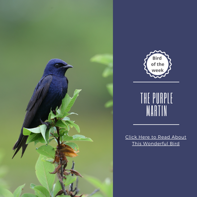 BIRD OF THE WEEK: THE PURPLE MARTIN