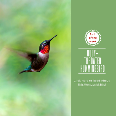 Bird of the week - The Ruby-Throated Hummingbird!