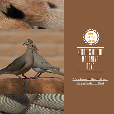 BIRD OF THE WEEK: SECRETS OF THE MOURNING DOVE
