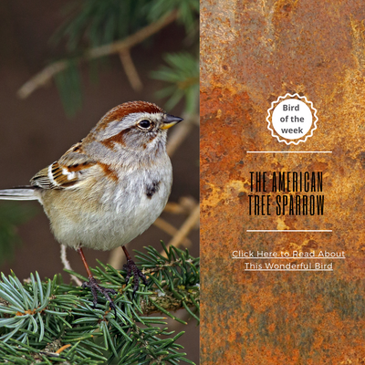 BIRD OF THE WEEK - THE AMERICAN TREE SPARROW