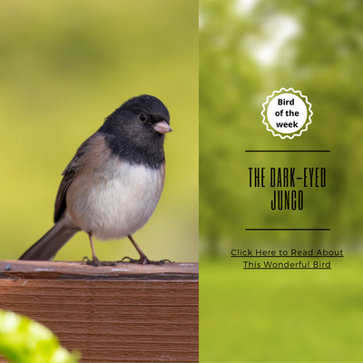 BIRD-OF-THE-WEEK: THE DARK-EYED JUNCO