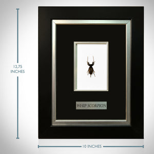 Whip Scorpion- Authentic Whip Scorpion Custom Museum Frame
