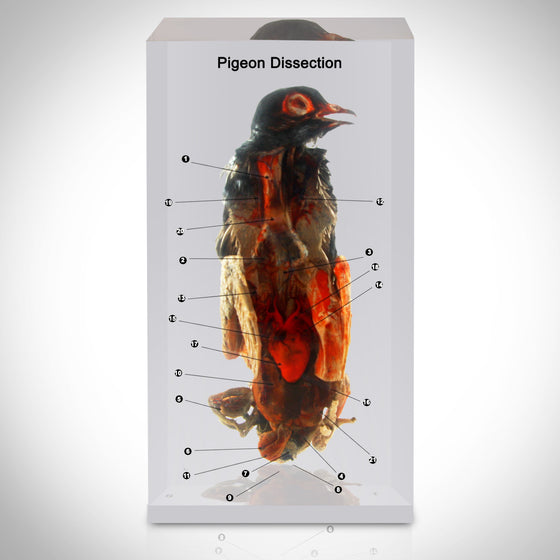 Authentic 'Pigeon' Dissection Custom Resin Display