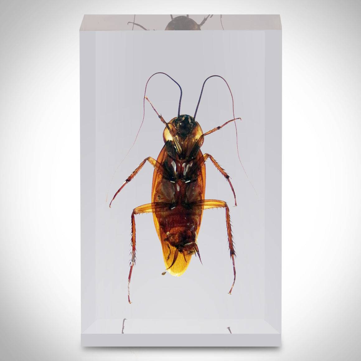 10 INSECT ORDERS COLLECTION IN RESIN / DISPLAY CASE