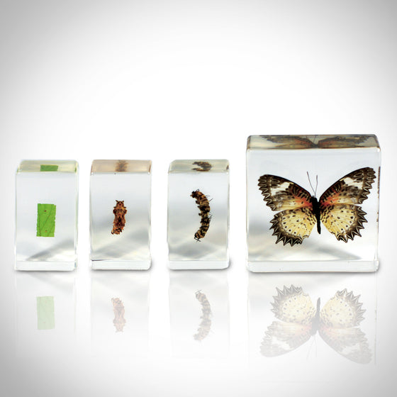 AUTHENTIC BUTTERFLY LIFE CYCLE IN CUSTOM RESIN DISPLAY
