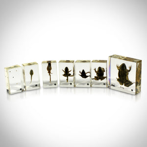 AUTHENTIC FROG LIFE CYCLE IN CUSTOM RESIN DISPLAYS