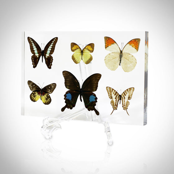 6 BUTTERFLIES IN CUSTOM RESIN DISPLAY