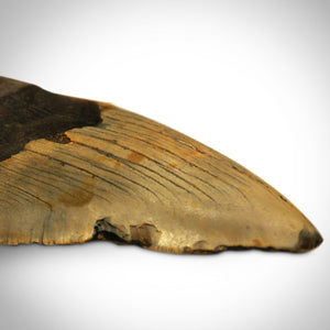 "Megalodon Shark Tooth - Authentic Huge 5""-7"" Fossilized Megalodon Shark Tooth Custom Museum Display"
