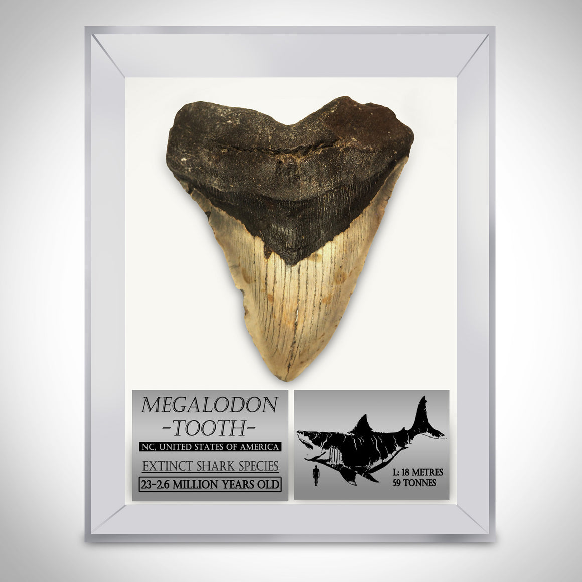 "Authentic HUGE 5""- 7"" FOSSILIZED MEGALODON SHARK TOOTH Custom Museum Display"