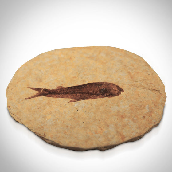 Authentic KNIGHTIA FISH FOSSIL