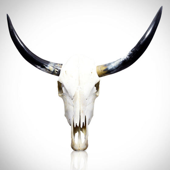 "Authentic 37"" TEXAS LONGHORN SKULL"