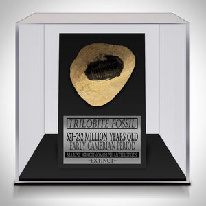 Authentic ANCIENT TRILOBITE FOSSIL 252-521 MILLION YEARS OLD Displayed in a Rare-T Exclusive Custom Museum Display