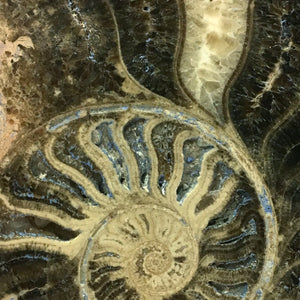 Authentic Giant Ammonite Shell Fossil Displayed In A Rare-T Exclusive Custom Museum Display