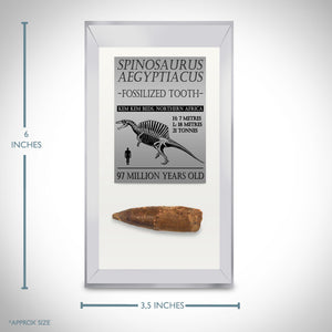 "Spinosaurus Tooth - 97 Million Years Old Spinosaurus Tooth 2""- 4"" Inches Long Custom Museum Display"