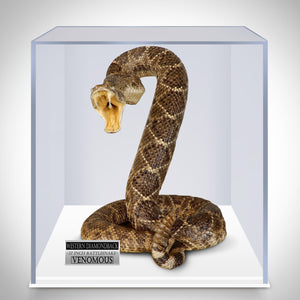 "Authentic Taxidermy 37""L Western Diamondback Rattlesnake Museum Display"