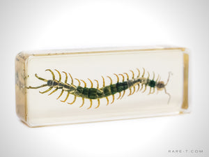 Authentic 'LARGE CENTIPEDE' Resin Paperweight/Display | RARE-T