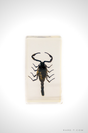 Authentic 'SCORPION-PALAMNAERSUS' Resin Paperweight/Display