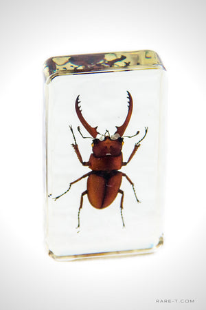 Authentic 'RED WINE-ANTLER STAG BEETLE' Resin Paperweight/Display | RARE-T