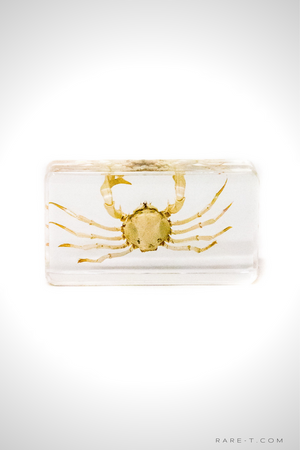 Authentic 'SPIDER CRAB' Resin Paperweight/Display