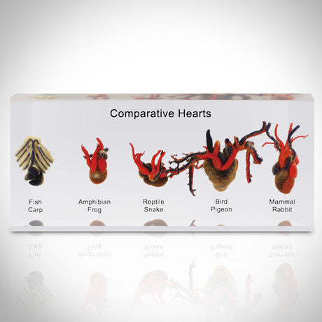 Authentic 5 Species Comparative hearts Custom Resin Display