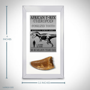 Tyrannosaurus Rex Tooth - Authentic Fossilized African Tyrannosaurus Rex Tooth Custom Museum Display