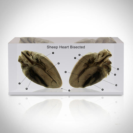 Authentic 'Sheep' Heart Bisected Custom Resin Display