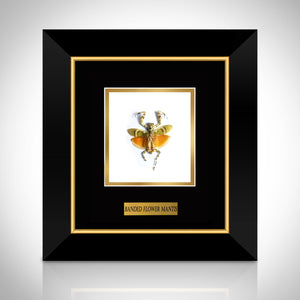 Authentic Banded Flower Mantis Custom Table / Wall Frame