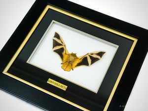 This VIP RARE-T Exclusive frame showcases the funny looking bat species AUTHENTIC KERIVOULA PICTA BAT.