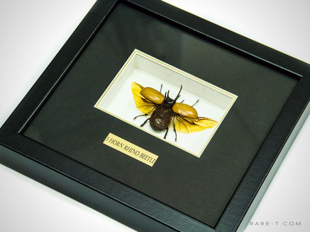 RARE-T Exclusive | '5 HORN BEETLE' Custom Frame