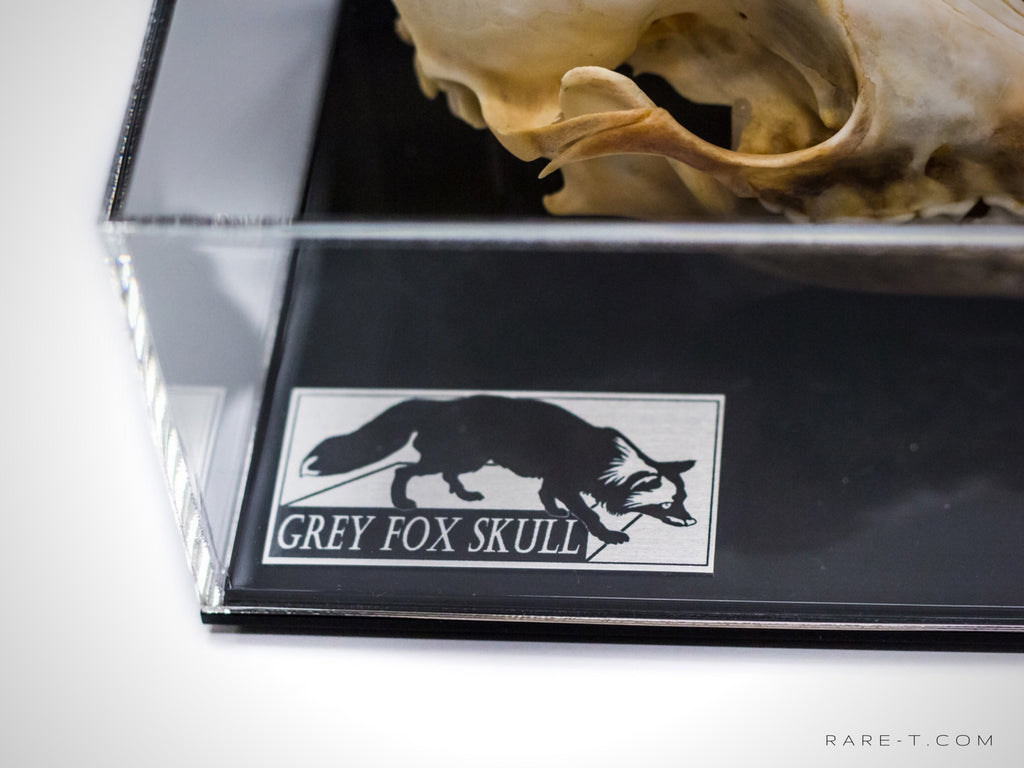 RARE-T Exclusive 'GREY FOX SKULL' Museum Display