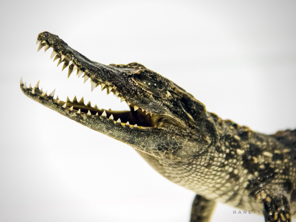 RARE-T Exclusive 'TAXIDERMIED CROCODILE' Museum Display