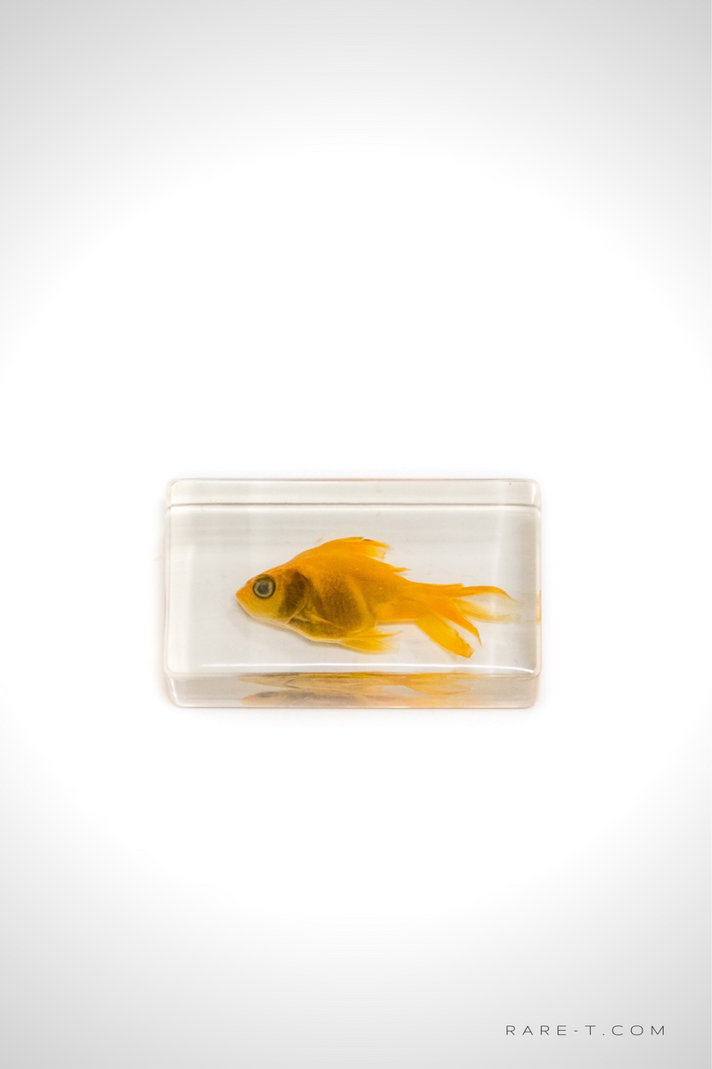 Authentic 'GOLDFISH' Resin Paperweight/Display